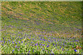 SW9480 : Bluebells south of Com Head by Andy F
