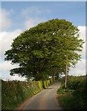 SX7883 : Beeches by the lane by Derek Harper