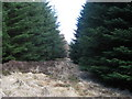 NY9694 : Plantation near King's Dod by Pete Saunders