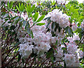NG2549 : Rhododendron flowers by Richard Dorrell