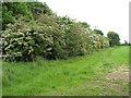 TG1426 : Flowering shrubs by Evelyn Simak
