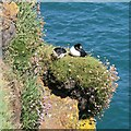 SM7309 : A pair of snoozing puffins by Hywel Williams
