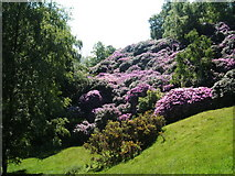 SK2563 : Rhododendron Ponticum, near Stanton Woodhouse by Peter Barr