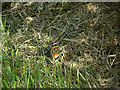 SK5536 : Painted Lady butterfly by Alan Murray-Rust