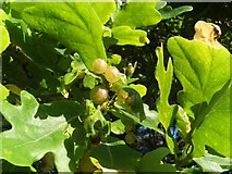 NS3977 : Currant galls on oak by Lairich Rig