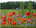 TM0361 : Close-up of poppies and cornflowers by Andrew Hill