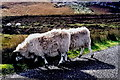 B8332 : Gweedore area - Sheep grazing along R257 by Joseph Mischyshyn