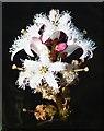 NG1695 : Bog Bean (Menyanthes trifoliata) by Anne Burgess