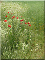 TM3793 : Poppies growing on field edge by Evelyn Simak