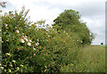 TF9603 : Dog roses in a hedgerow near Carbrooke by Andy F