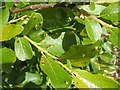 NS4373 : Leaf galls on willow by Lairich Rig