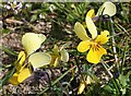 NF7173 : Heartsease or Wild Pansy (Viola tricolor) by Anne Burgess