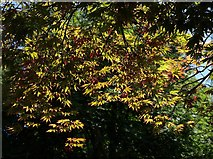 SX9050 : Acer, Coleton Fishacre by Derek Harper