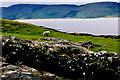 G6592 : Loughros Peninsula - Sheep grazing near road by Joseph Mischyshyn