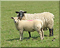 TM2096 : Ewe and lamb by Evelyn Simak