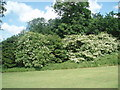 TQ3007 : Lilacs in Withdean Park by Paul Gillett