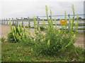 TQ8167 : Wild Mignonette (Reseda lutea) in Bloors Wharf by David Anstiss