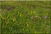 SU7431 : Orchids, Noar Hill by Ian Capper