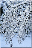 SE1025 : Snow-laden branches beside the Magna Via by Phil Champion