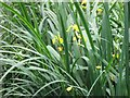 SP9713 : Yellow Iris, Woodland Pond, Ashridge by Chris Reynolds