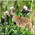 TG2403 : Meadow Brown (Maniola jurtina) on thistle flowers by Evelyn Simak