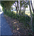 TM3358 : Hedge Laying next to the A12 Main Road by Adrian Cable