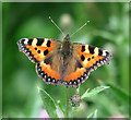 TM2296 : Small Tortoiseshell Butterfly (Aglais urticae) by Evelyn Simak