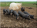 SE9345 : Kiplingcotes pigs by Paul Harrop