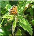 TG2806 : Gatekeeper (Pyronia tithonus) by Evelyn Simak