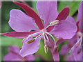 SJ7965 : Rosebay Willowherb flower by Jonathan Kington