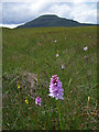 NG2444 : Orchid on Beinn Bhuidhe by Richard Dorrell