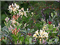 NG2544 : Honeysuckle in the gorge of the Allt na Glas Bhuaile by Richard Dorrell