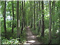 NZ4246 : Tree lined footpath by peter robinson