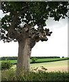 TG3003 : There is still life in this gnarly old oak by Evelyn Simak