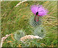 SJ3513 : Six-spot burnet on a thistle by E Gammie