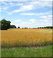 TM0287 : A field of ripening barley by Evelyn Simak