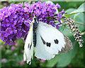 TA0322 : Female Large White (Pieris brassicae) by David Wright