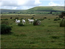 SN1329 : Sheep at Gors Fawr stone circle by ceridwen
