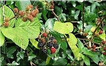 J3371 : Blackberries, Belfast by Albert Bridge