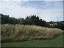 TQ4001 : Grasses & Shrubs by Paul Gillett