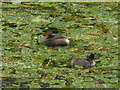 SK3155 : Little Grebes, on Cromford Canal by Roger Cornfoot