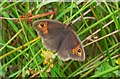 SU9026 : Meadow Brown butterfly by footpath in Verdley Wood by Shazz