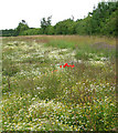TM1999 : Wild flowers in field by Woodlands by Evelyn Simak