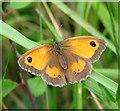 TM2099 : Gatekeeper (Pyronia tithonus) by Evelyn Simak