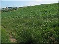 NT9828 : Crops near Humbleton by Stephen Craven