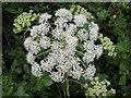 G8456 : Wild plant, Lareen by Kenneth  Allen