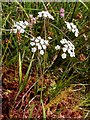 NS3778 : Whorled Caraway (Carum verticillatum) by Lairich Rig