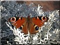 SK4594 : Peacock butterfly (Inachis io) by Anita Haythorne