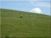 SS8894 : Black sheep by Mike Kohnstamm