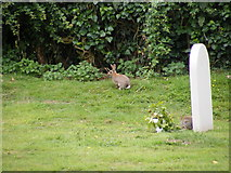 TM4160 : Rabbits in the churchyard of St Mary Magdalene Church by Geographer
